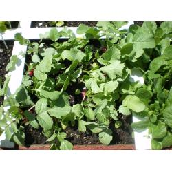 Small Crop Of When To Harvest Radishes