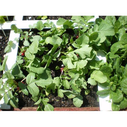 Medium Crop Of When To Harvest Radishes