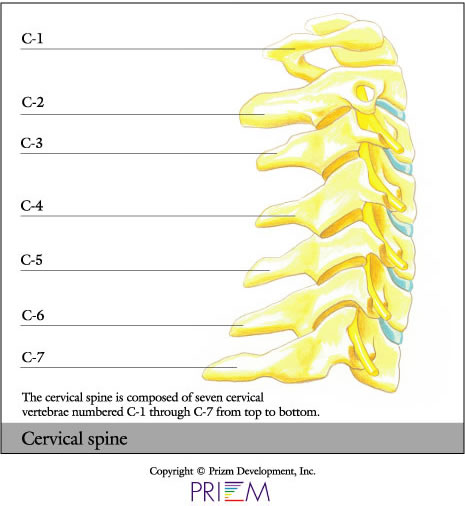neck cervical c1 to c7