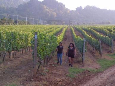 walking amongst Gran Monte's vineyards, Khao Yai. Thailand