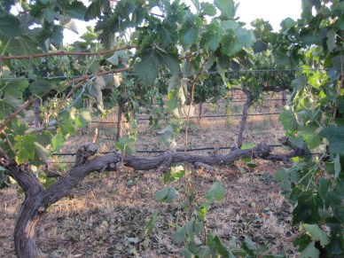 healthy vine and straw mulch