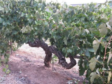 170 yr old vines shiraz