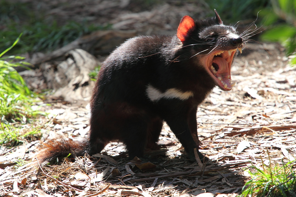 The Tasmanian devils are aggressive, quarrelsome creatures who are often seen snarling, fighting and biting each other. Credit: nodust/Flickr, CC BY 2.0