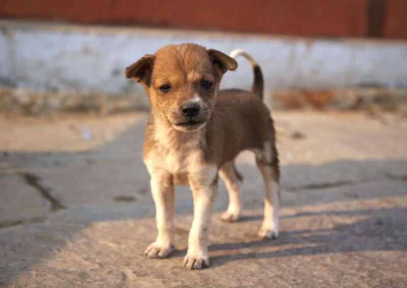 Large Of Indian Dog Breeds