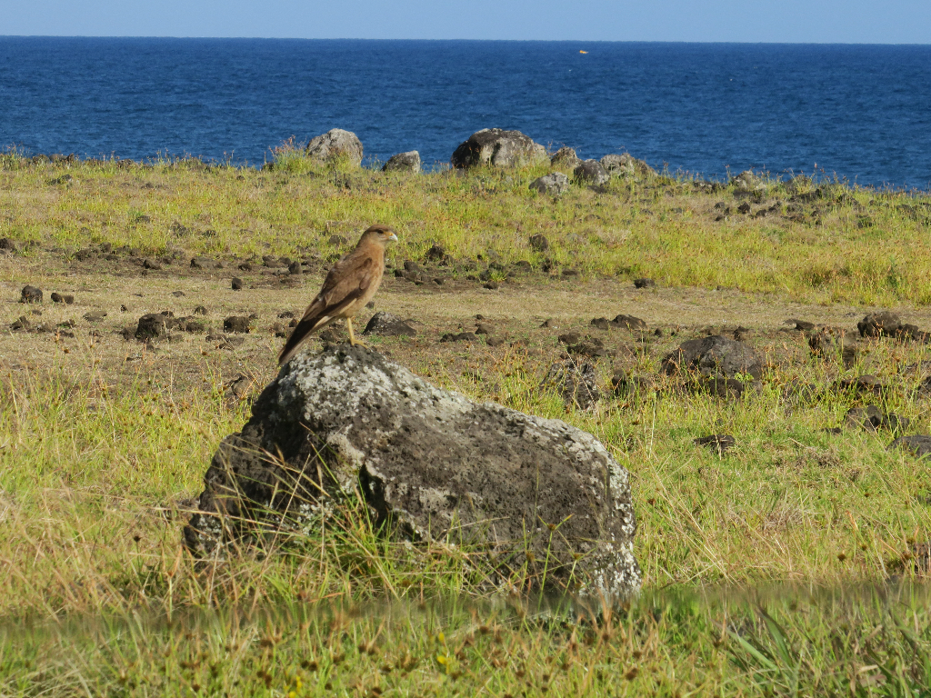 Chimango Caracara - a Beautiful Falcon Easter Island, Rapa Nui, Hanga Roa, Isla de Pascua, Chile, South America