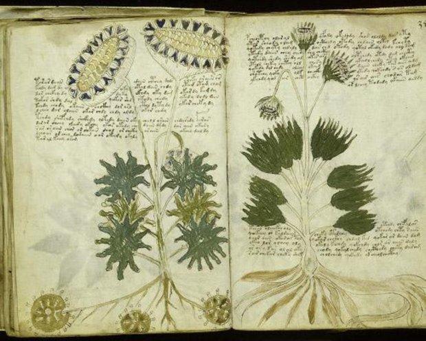 voynich-botanical