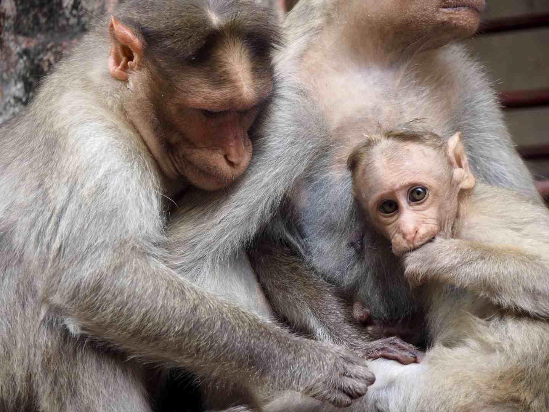 monkey hampi