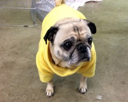 Sleek Pug Costume Fitting Pug Visits His Grumble This Pug Life Pug Bee Costume Yoda Costume Pug