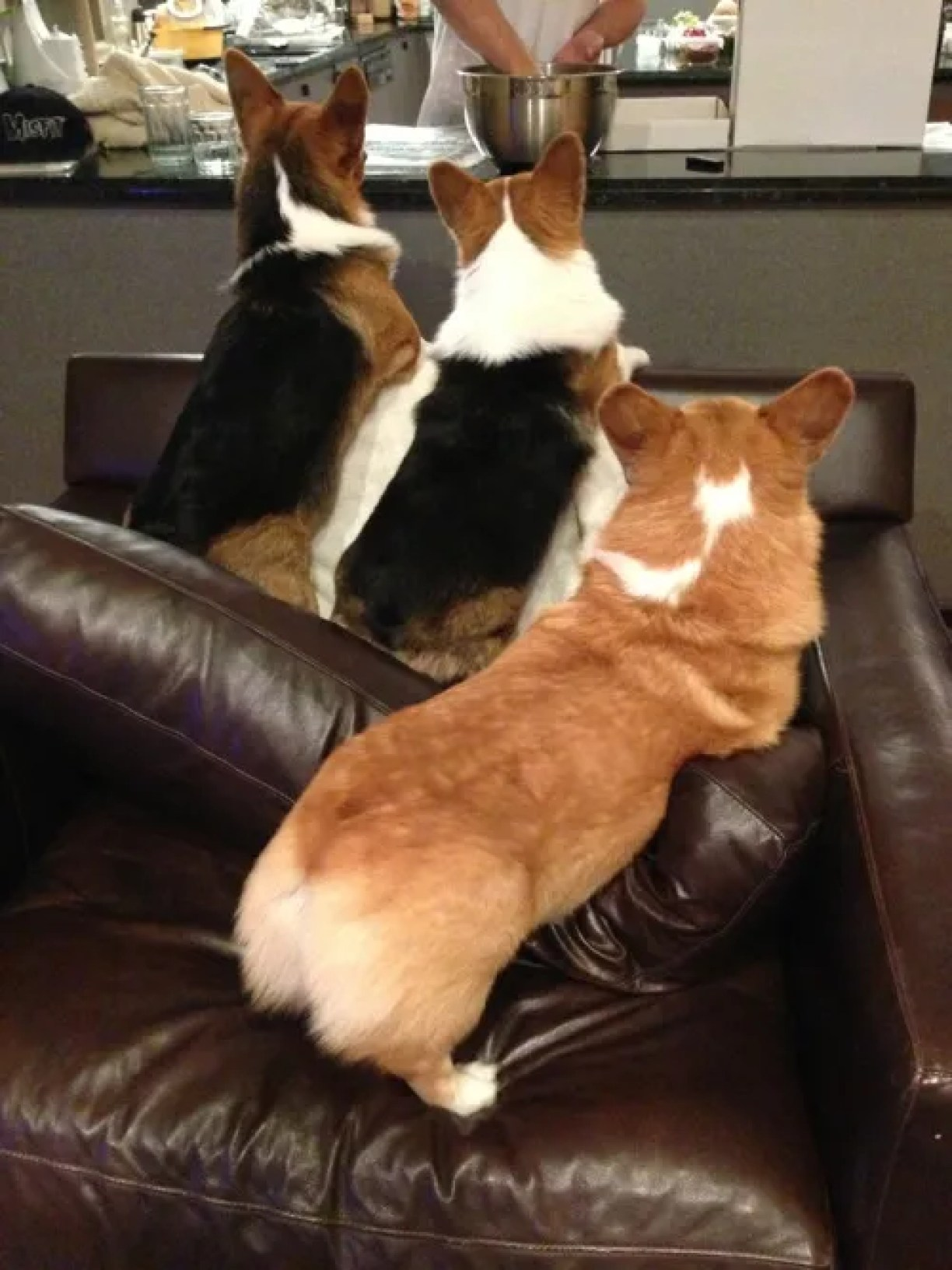 corgi butts