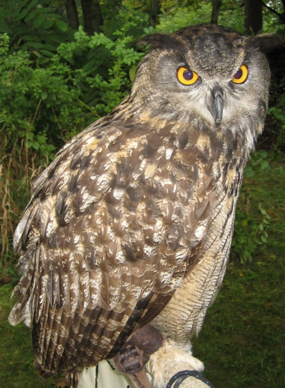 This is a european eagle owl. It looks a lot like a horned owl.