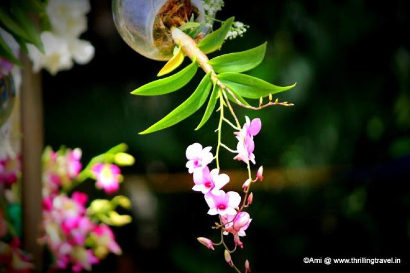 Hanging glass pot of the Orchid at Lalbagh