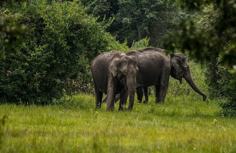 Elephants in Muthanga Sanctuary                                      Image Credits: Kalidas Pavithran Under CC by 2.0