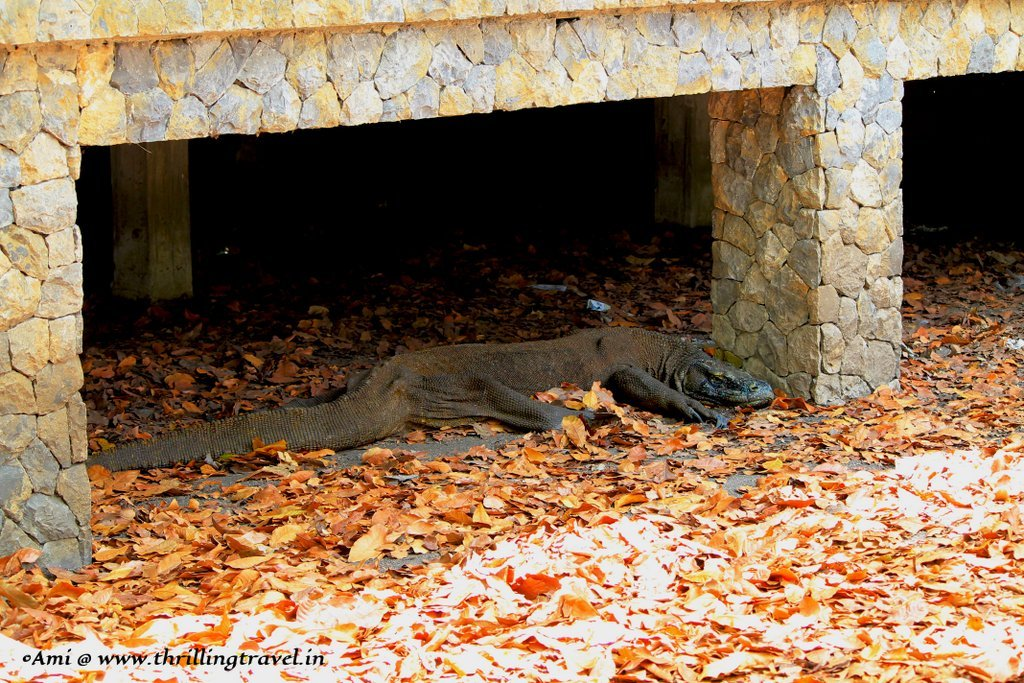 Another Komodo dragon relaxing under the shed