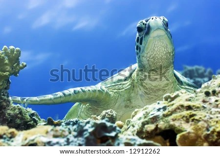 Green Turtle Closeup Borneo Island Stock Photo  Royalty Free     Borneo island