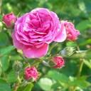 濃度100%ではありませんが、しっかり香ります。ローズ アブソリュート ディリュート(Rose Dilute)10ml天然100%のエッセンシャルオイ..