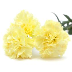 Pale yellow flowers pale yellow carnation flowers isolated stock image image of mightylinksfo