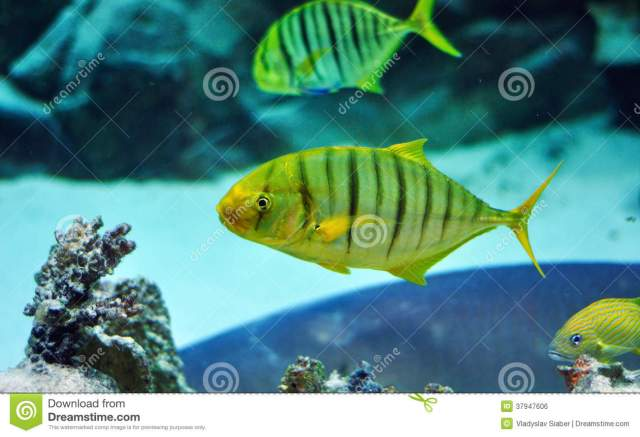 Yellow And Black Striped Fish In Aquarium Royalty Free Stock Image