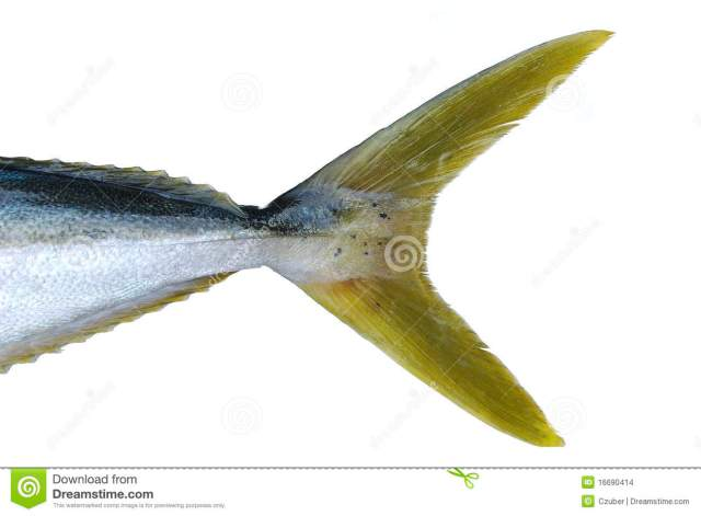Closeup of yellow tail fish isolated on white background.