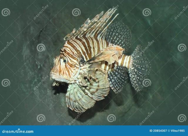 Zebra Fish Royalty Free Stock Photography   Image: 20854307