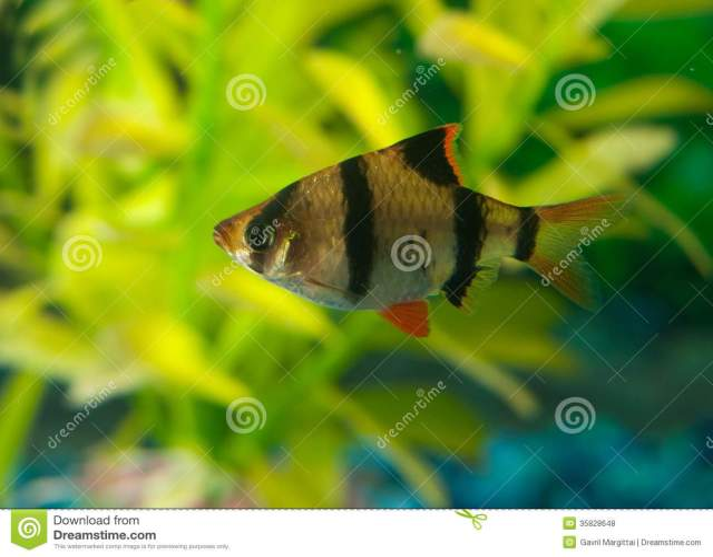 Tetra and zebra fish small aquarium fish the zebra tetra for Fun fish tank