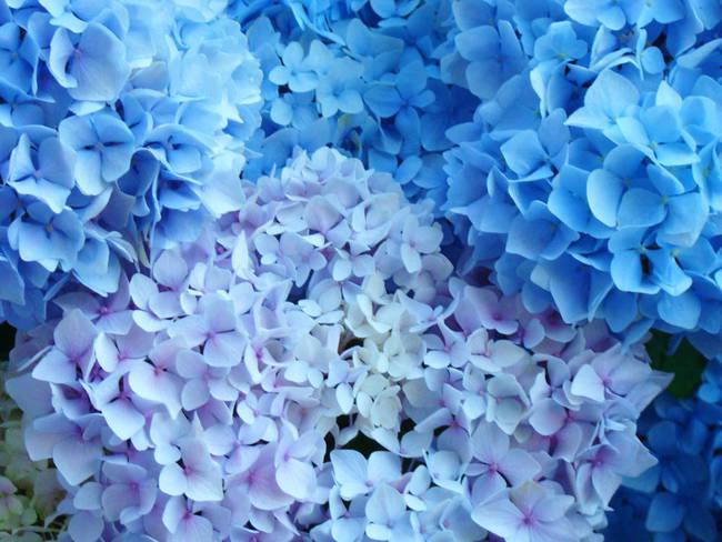 Blue Floral Art Blue Hydrange Flowers by Baslee Troutman Fine Art Prints