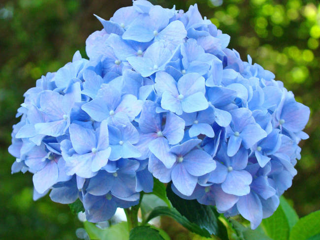 Blue Hydrangea Flower Garden Summer Art by Baslee Troutman Fine Art
