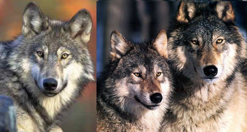 Large Of Wolf Size Comparison