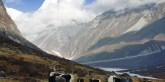 Yaks-Himalaja_iStock41403706_DanielPrudek.jpg.2109411
