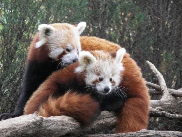 Muttertier (Kleiner Panda) mit Jungtier.