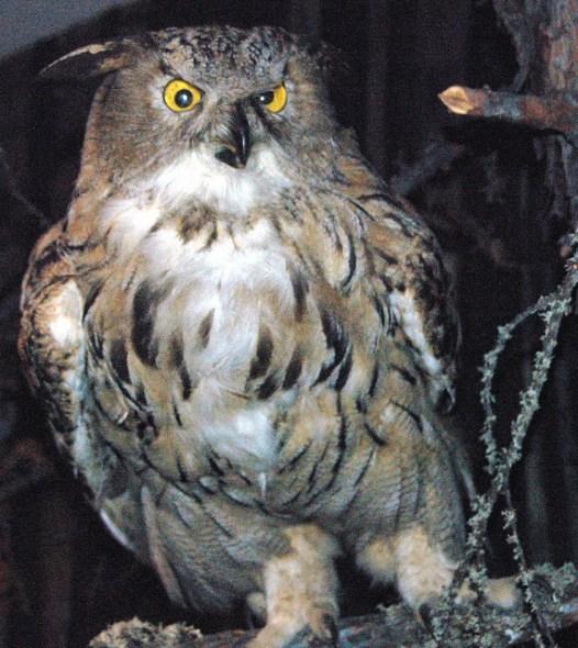 Der Uhu war 2005 Vogel des Jahres.