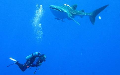 Ein Traum für Taucher, einmal eine Begegnung in den Meeren mit dem größten Fisch der Welt.