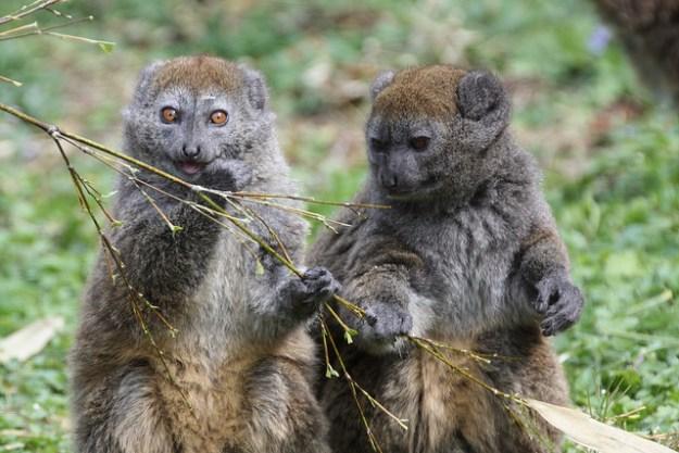 Die Alaotra-Bambuslemuren kommen wie alle Lemuren nur auf Madagaskar vor.