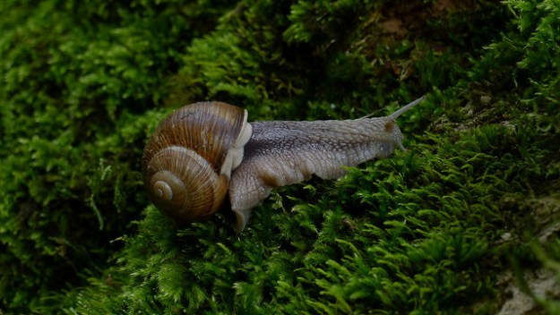 Die Weinbergschnecke (Helix pomatia) hat ein spiralig gewundenes Gehäuse aus Kalk.