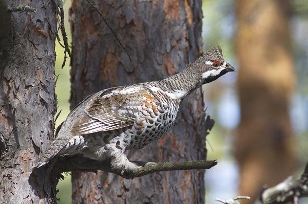 Haselhühner sind ausgeprägte Standvögel.