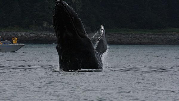 Im Frühjahr ziehen Buckelwale nach Alaska, weil es dort viel Nahrung gibt.
