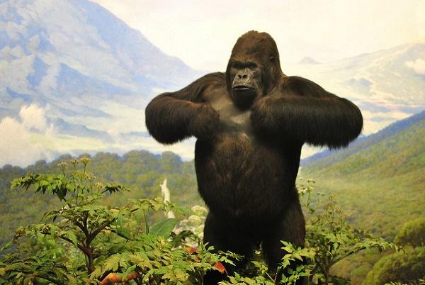 Der Gorilla ein Modell-Athlet hat einen robusten und stämmigen Körperbau.