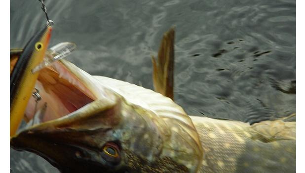 Hechtzeit ist im Frühwinter, wenn sich Krautbewuchs in den Gewässern zurück bildet.