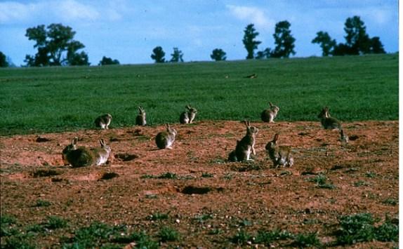 Wildkaninchen in der Mittagssonne vor ihren Bauen.