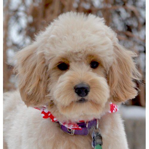 Medium Crop Of Poodle Puppy Cut