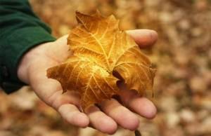 golden-leaf-557x362