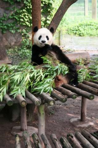 ChongChing - Panda Zoo