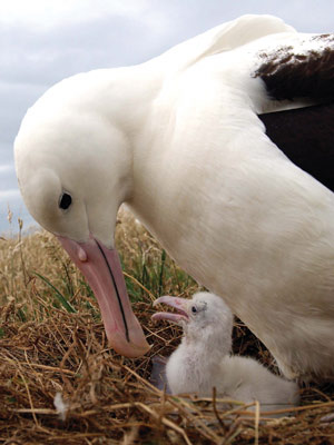 albatross_and_chick_400