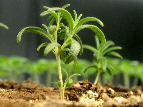 Rosemary clone