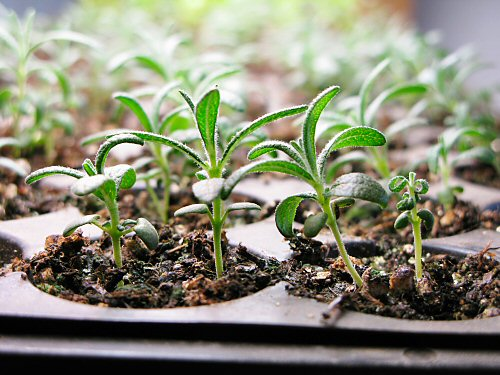 spr08_rosemary_seedlings.jpg