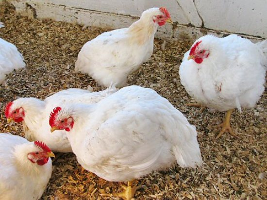Chickens: Frey\'s vs White Rock