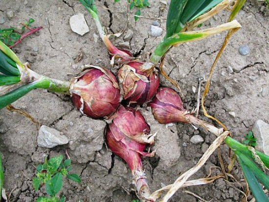 Multiplanted onions