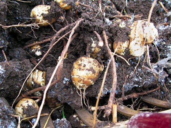 Jerusalem artichoke frozen harvest