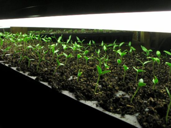 Eggplant seedlings about 10 days old