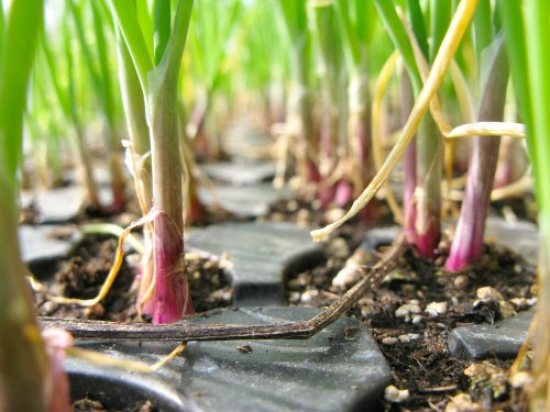 Red Wing onion seedlings