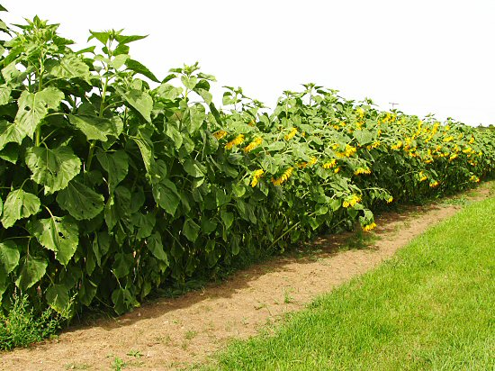 Wall of Early Russion sunflowers